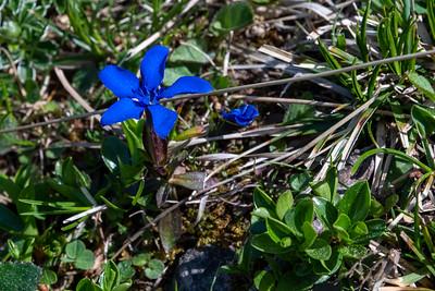 A tiny, brilliant blue flower.