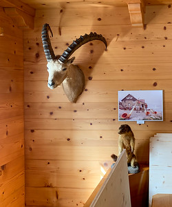 A steinbock on the wall, and a marmot standing below the photo - inside Rotsteinpass hut.