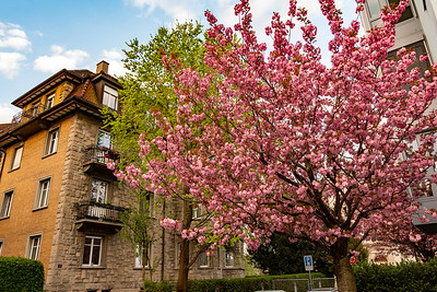 Spring blossoms in Zurich.