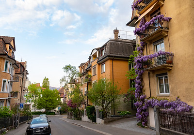 Incredible wisteria vines in Zurich.
