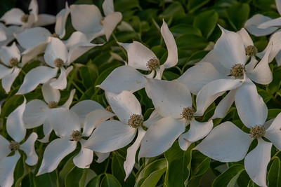 A pretty shrub blooms just down the street from our flat.  Dogwood?