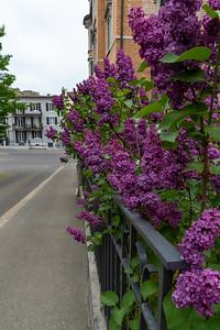 Lilacs along a street in Zurich.