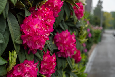 Azaleas bloom in Zurich.