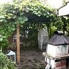 Overgrown pergola (Grape and Kiwi)