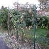 Blackberries, post-winter pruning