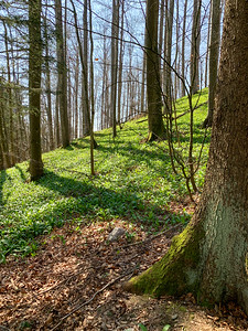 Spring blankets the forest in the lower reaches of Uetliberg ridge.