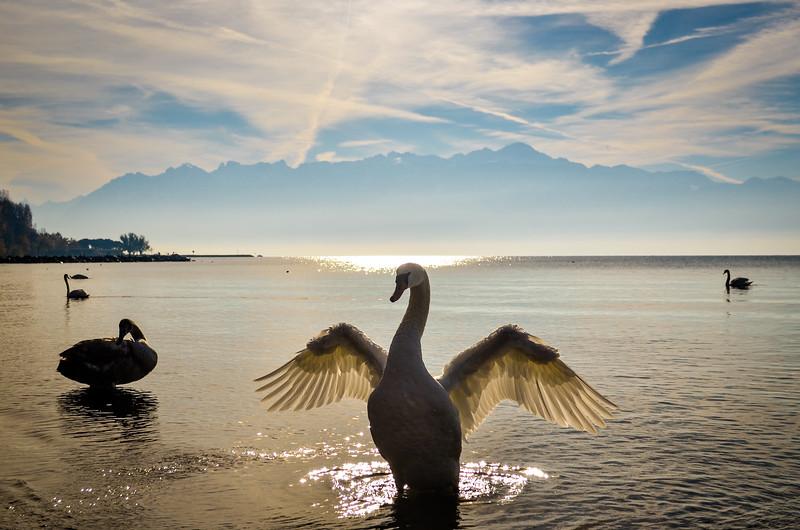 Swan in Lausanne