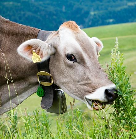 San Gottardo Cow
