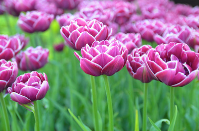 Pink Tulips of Denmark
