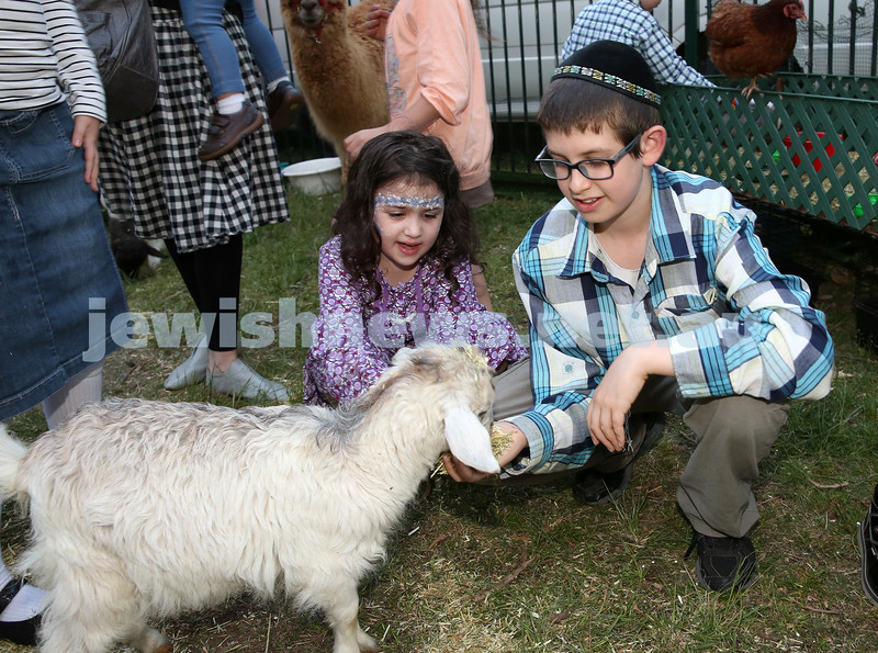 Pizza In The Hut Succot Party at Barracluff Park in Bondi. Hena Berger & Chaim Ber Hirschowitz feed a baby goat.