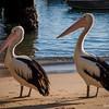 Pelican Shore