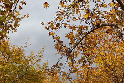 Orange leaves and grey sky