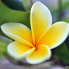 Balinese Frangipani