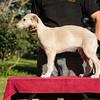 2nd born cream dog 8 weeks