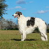 GCH Sylvan Dreamweaver at age 3.<br /> owned by Jerry and Stephanie Steele