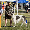 Ch. Sylvan Pewter Gazelle in the ring at Palm Springs Kennel Club - January 2013
