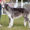 Sylvan Carbon Steel - 10 months<br /> Just lost his puppy coat.<br /> Dark Silver brindle boy - D