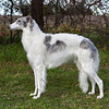 Ch. Sylvan Silver Springbok<br /> <br /> February 2012, 22 months old, the weekend she finished her Championship, with Best of Breed wins over specials.
