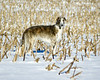 Fiona of the corn - hunting small animals beneath the snow in a cornfield behind our motel - Edinburgh, Indiana, late March, 2006.
