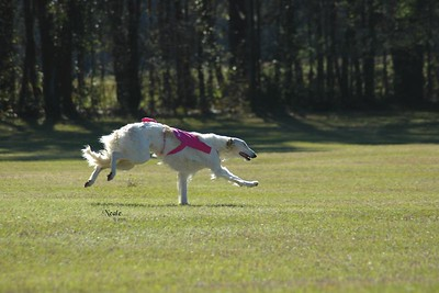 Sylvan Amunet JC at her first field trial - Apalachee Coursing Club, March 2005