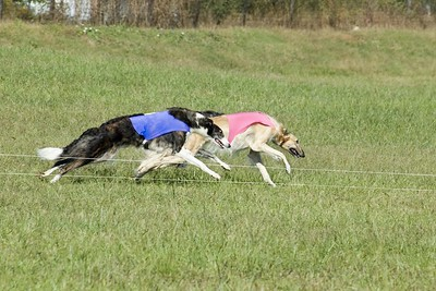 Arwen and Scarlett, the #1 and #2 ASFA Borzoi in 2005, leave the slips. A third runner is nearly invisible behind them.