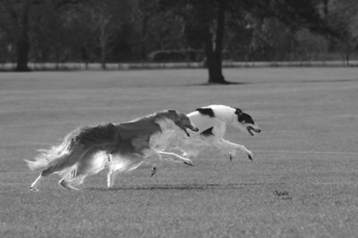 DC Sylvan Seabury Virago, SC, F.Ch. and  DC Monarch Sylvan Saracen LCX, LCM, GRC, JOR  - Apalachee Coursing Club, March 2005