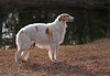 Nutmeg in January age 3 1/2. Five weeks in whelp to Ch. Steppelands Final Mikhail of Abidjan.