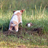 Red boy pounces on his sister in the tall grass - almost 8 weeks