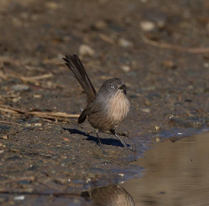 Wrentit Camp Pendleton 2017 12 30-2.CR2