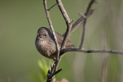 Wrentit Camp Pendleton Ca 03 26 10