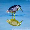 Black Cap Heron Mirror