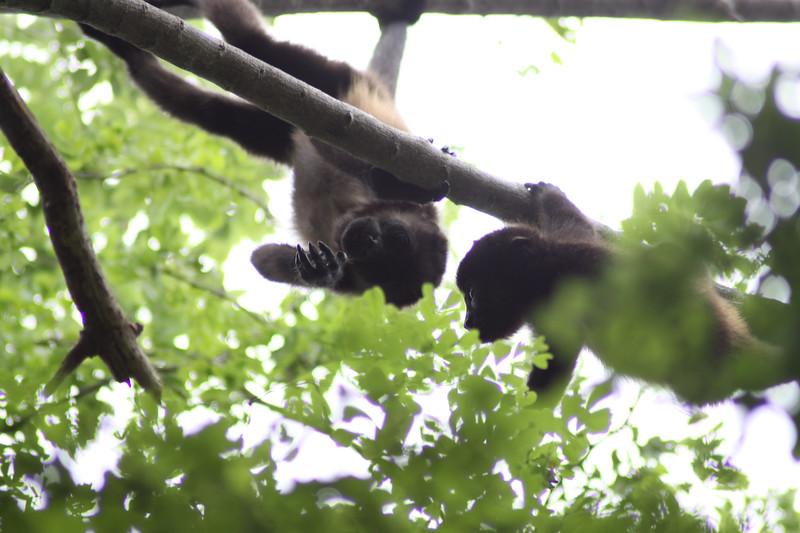 Monkeys 21