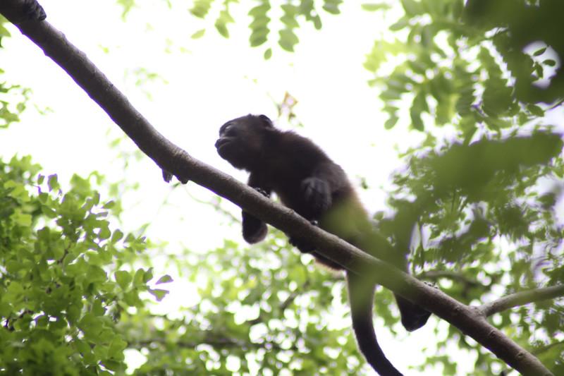 Monkeys 20