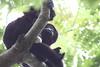 Monkeys 33