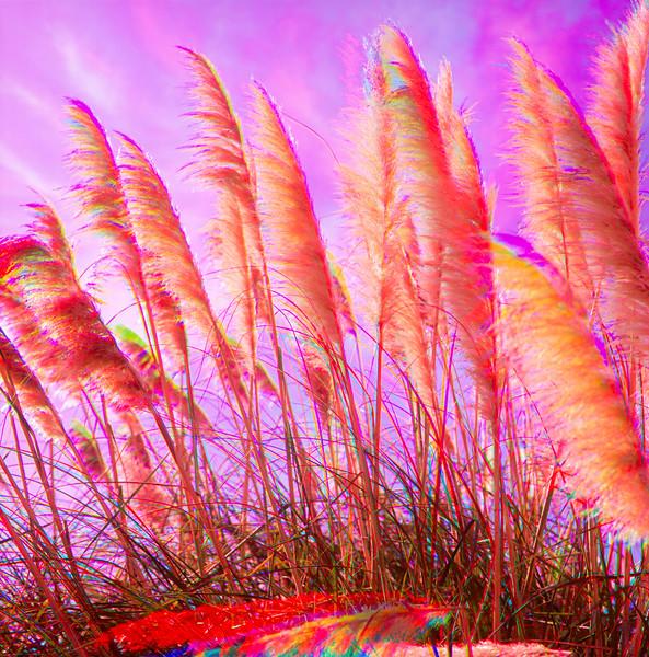 Pampas Grass, Santa Clara, California, 1991