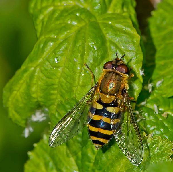 Syrphus torvus (Female)