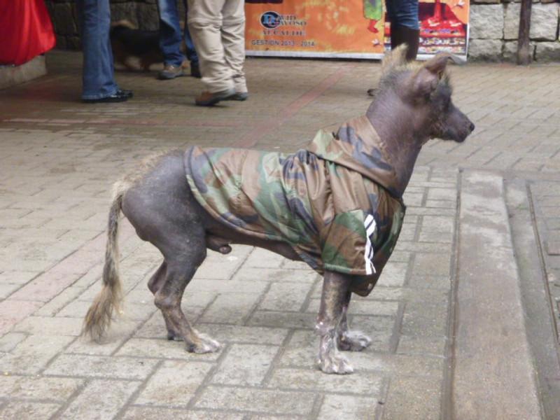 Hairless Peruvian dog, and his camo coat