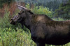 A wild cow moose poses for a photo before disappearing into the brush.