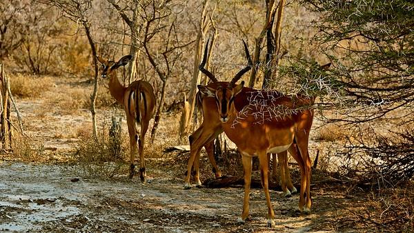 Impala (Rooibok)