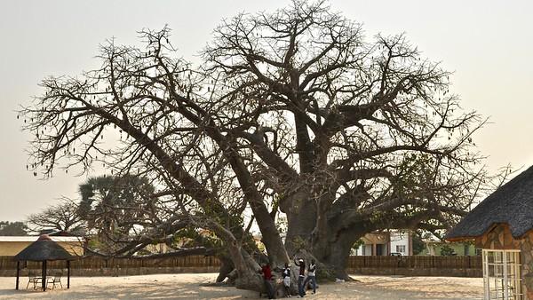 Boabab - Apenbroodboom