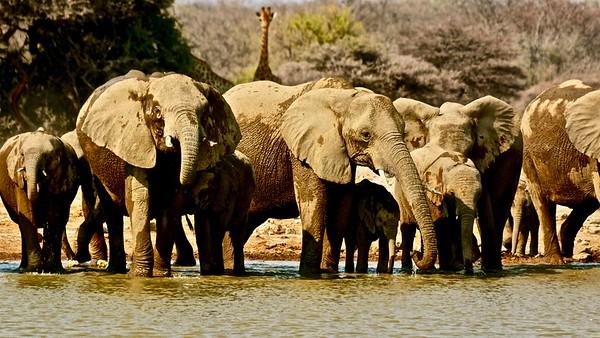 Desert elephant (Woestijn olifant)