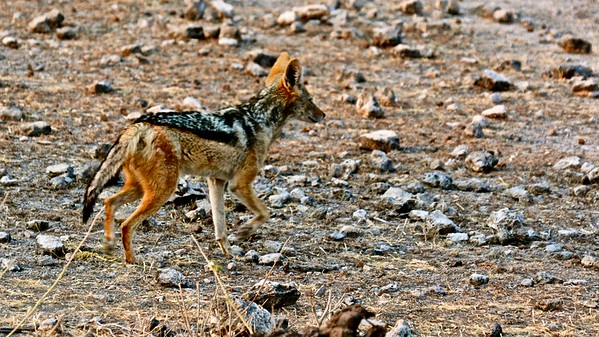 Black-backed jackal (Zadeljakhals)