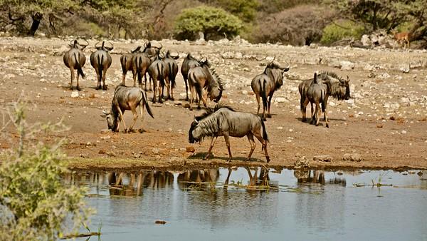 Gnu (Blauwe Wildebeest)