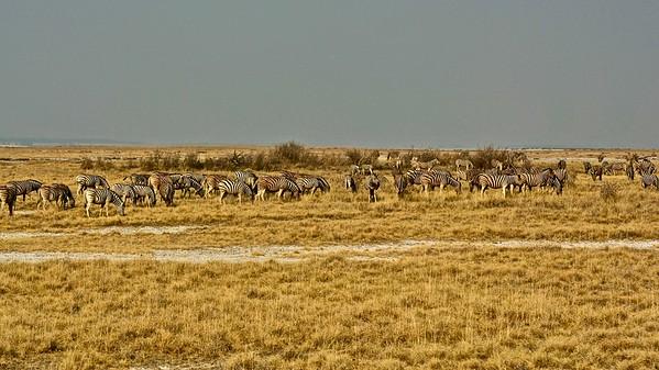 Plains zebra (Steppe Zebra)