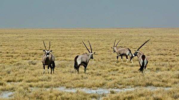 Oryx (Spiesbok)