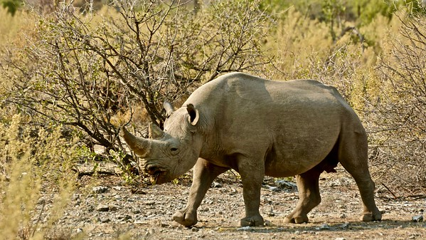 Rhinoceros (Neushoorn)