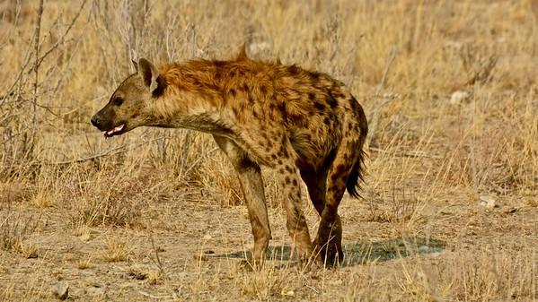 Spotted hyena (Gevlekte Hyaena)