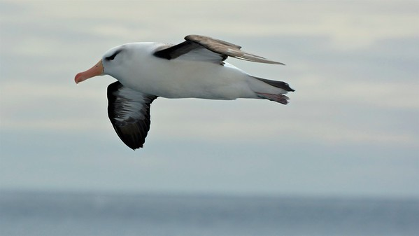 Black-browed albatross (Wenkbrauwalbatros)