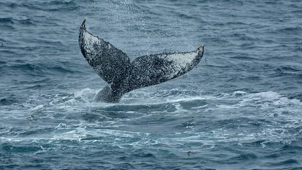 Humpback whale (Bultrug walvis)