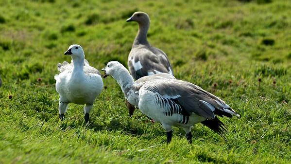 Magellanic Goose (Magelhaengans)